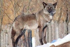 O lobo canadense preto olha para fora para sua rapina Imagens de Stock
