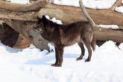 O lobo canadense preto olha para fora para sua rapina Fotos de Stock Royalty Free
