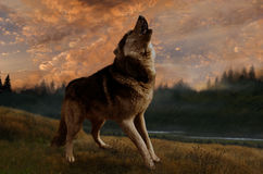 O lobo canta no por do sol Imagens de Stock