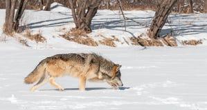 O lobo cinzento (lúpus de Canis) trota ao longo do Riverbed nevado Imagens de Stock