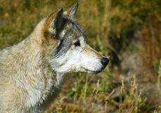 O lobo de madeira olha à direita Fotos de Stock Royalty Free