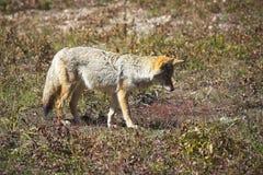 O lobo do prado Fotos de Stock