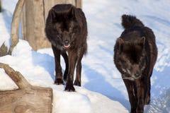 O lobo dois canadense preto está olhando sua rapina Fotos de Stock Royalty Free