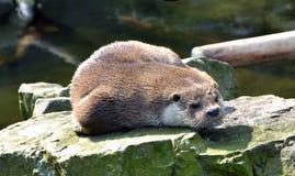 O lobo-marinho está descansando em uma pedra foto de stock royalty free