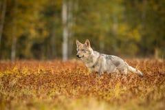 O lobo novo, lúpus do lúpus de canis fotografia de stock royalty free