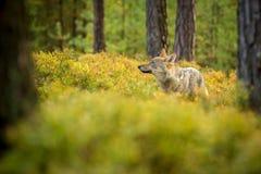 O lobo novo, lúpus do lúpus de canis fotos de stock royalty free