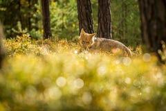 O lobo novo, lúpus do lúpus de canis imagem de stock royalty free
