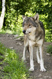 O lobo novo observou algo interessante na distância Fotos de Stock Royalty Free
