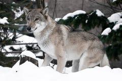 O lobo olha slyly, springily pronto para saltar e correr ao objetivo Vista jovial, esperta, na cara do interesse, floresta do inv foto de stock