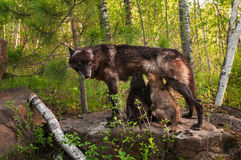 O lobo preto (lúpus de Canis) alimenta-lhe os filhotes de cachorro que estão na rocha Imagens de Stock