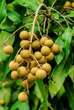 O longan Foto de Stock Royalty Free