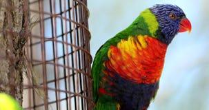 O lorikeet bonito do arco-íris empoleirou-se em uma cerca e no voo afastado vídeos de arquivo