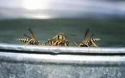 o lote de insetos perigosos, vespas está na borda de uma cubeta e de uma luta do metal para a água fotos de stock
