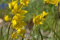 O lote de tulipas amarelas no canteiro de flores, hastes, sae Fotografia de Stock