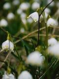 O lote dos snowdrops dura a neve Imagem de Stock