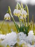 O lote dos snowdrops dura a neve Imagem de Stock Royalty Free