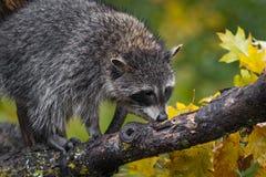 O lotor do Procyon do guaxinim cheira o ramo no outono fotografia de stock