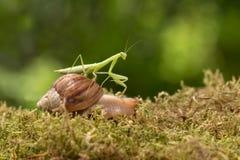 O louva-a-deus que monta um caracol viaja na grama Imagens de Stock
