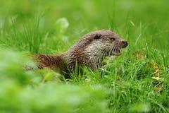 O lutra do Lutra da lontra euro-asiática Imagem de Stock Royalty Free