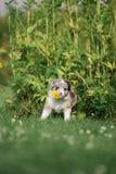 O mármore border collie do cachorrinho aspira uma flor foto de stock
