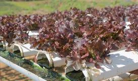 O método da hidroponia do crescimento planta usando o solu nutriente mineral Fotos de Stock Royalty Free