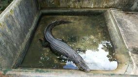 O mój boże krokodyl! Zdjęcia Stock