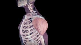 O músculo de deltoid humano ilustração royalty free