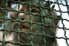 O macaco é limitado em uma gaiola Foto de Stock Royalty Free