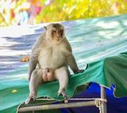 O macaco é sentar-se, mostrado os genitais foto de stock
