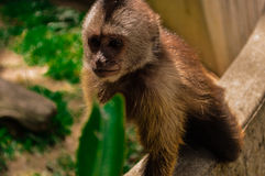 O macaco Foto de Stock Royalty Free