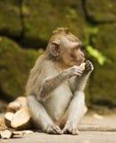 O macaco adulto senta-se na árvore na floresta Imagem de Stock