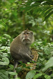 O macaco adulto senta-se na árvore na floresta Foto de Stock