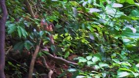 O macaco anda através da floresta filme