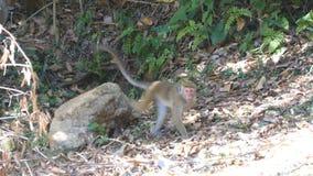 O macaco anda no parque nacional em Sri Lanka vídeos de arquivo
