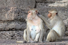 O macaco aprecia procurarar por erros Foto de Stock Royalty Free