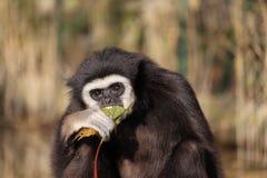 O macaco come as folhas Imagem de Stock Royalty Free