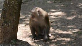 O macaco come sementes do arroz vídeos de arquivo
