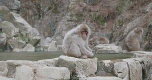 O macaco da neve que senta-se na borda do onsen - mola quente - a pele que funde no vento frio video estoque