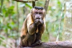 O macaco de Capuciner está sentando-se em uma árvore na selva Fotografia de Stock