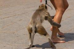 O macaco de cauda longa agarra o pé do templo Fotografia de Stock Royalty Free