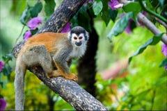 O macaco de esquilo. Fotografia de Stock Royalty Free