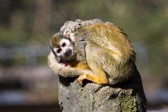 O macaco de esquilo comum, sciureus do Saimiri vive em grandes famílias imagem de stock royalty free
