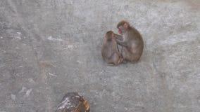 O macaco de Macaque está jogando com seu Cub vídeos de arquivo