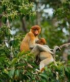 O macaco de probóscide fêmea com um bebê senta-se em uma árvore na selva indonésia A ilha de Bornéu Kalimantan Imagens de Stock