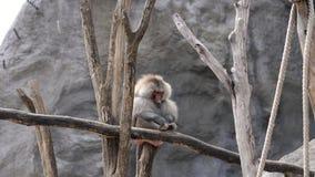 O macaco do babuíno de Hamadryas senta-se no ramo, riscando silenciosamente seu pé fora, dia de verão filme