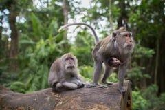 O macaco do bebê com ele é pais Imagem de Stock Royalty Free