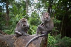 O macaco do bebê com ele é pais Fotos de Stock Royalty Free