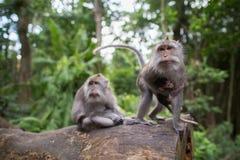 O macaco do bebê com ele é pais Fotografia de Stock