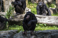 O macaco do chimpanzé olha algo Imagem de Stock