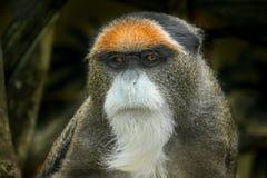 O macaco do ` s de De Brazza, um macaco do Velho Mundo endêmico aos pantanais de África central fotografia de stock